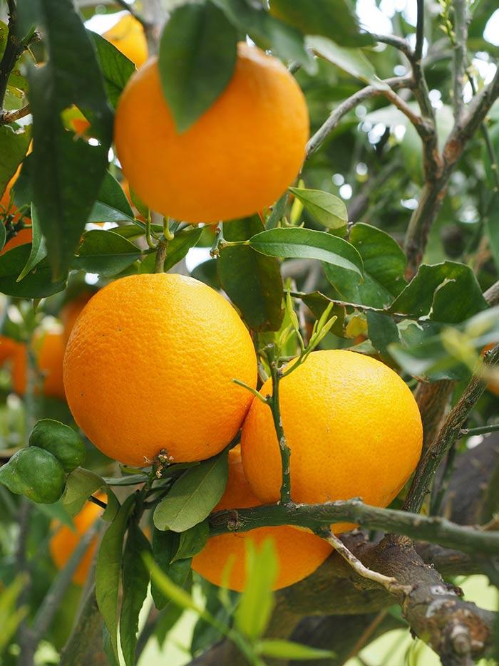 orangenrente